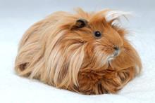 Long Hair Guinea Pig On White ...