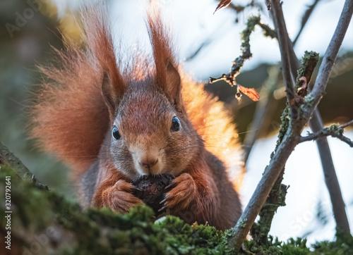 Fressendes Eichhörnchen im Baum Canvas Print