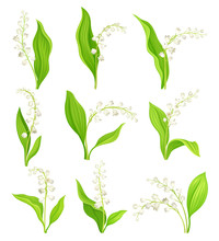 Lily Of The Valley With Oblong...