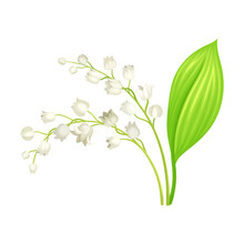Lily Of The Valley With Oblong Leaves And Flowers Vector Illustration