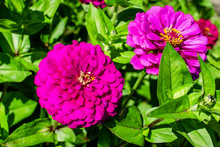 Red Zinnia On A Green Backgrou...