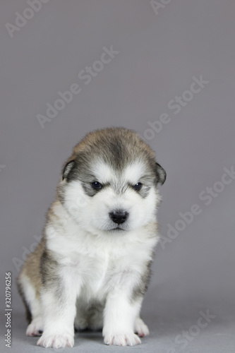 Photo Alaskan malamute puppy in studio posing. Grey studio background.