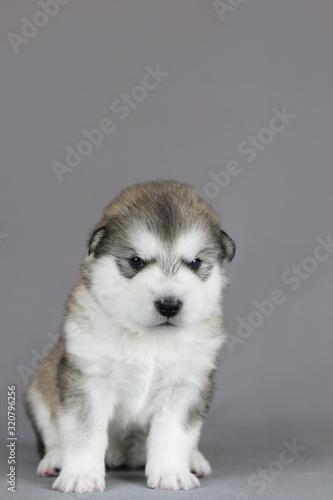 Alaskan malamute puppy in studio posing. Grey studio background. Canvas Print