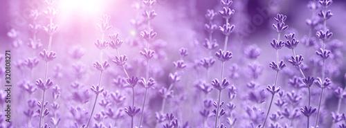 Fotografia Lavender flower on the field.