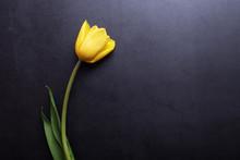 One Beautiful Yellow Tulip In ...