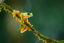 The Gliding Tree Frog (Agalych...