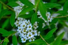 White Branch Of Cherry Blossom...
