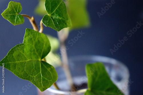 Valokuva Edera in vaso