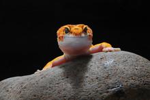 Gecko, Leopard Lizard Gecko, L...