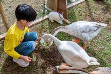 Asian Boy Feeding Two Geese