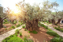 Thousand-year Olive Trees In Garden Of Gethsemane, Israel