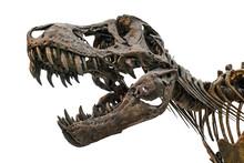 Tyrannosaurus Scull Isolated On White
