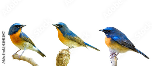 Fototapeta Collection of fascinated blue and orange birds perching with different stances isolated on white background, Chinese blue flycatcher (Cyornis glaucicomans) obraz