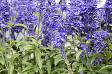 Closeup Salvia Farinacea Known As Mealy Sage With Blurred Background In Summer Garden