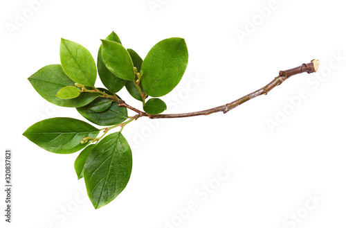 Fresh twig with green leaves Fototapeta