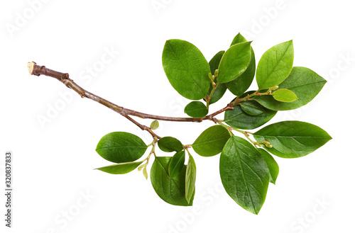 Fresh twig with green leaves Fototapeta