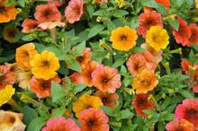 Petunia Cascadias Indian Summer Red And Orange Flowers