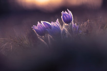 Pulsatilla Grandis - Beautiful...