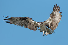 Isolated Osprey With Fully Ope...