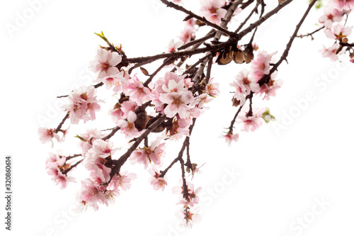 Photo almond blossom isolated