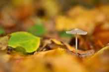 Goldene Herbststimmung, Ein Kleiner Weißer Pilz Steht Im Wald Im Herbst Zwischen Leuchtenden Blättern