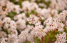 .flowering Crassula Ovata, Money Tree