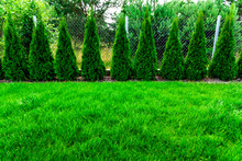Green Grass With Thuja Trees