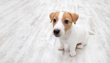 Puppy Sitting On Floor.  Jack ...