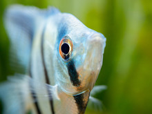 Macro Close Up Of A Zebra Angelfish In Tank Fish With Blurred Background (Pterophyllum Scalare)