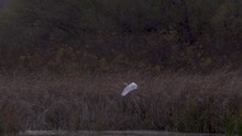 A Beautiful, White Great Egret Flying Over A Lake And Landing On The Lakeside - Close Up
