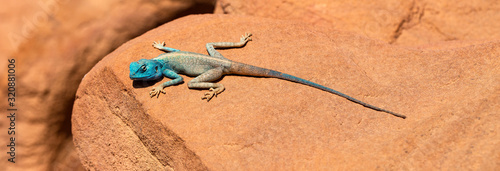 Fotografie, Tablou The Sinai agama (Pseudotrapelus sinaitus, formerly Agama sinaita) is an agamid lizard found in arid areas of southeastern Libya, Egypt
