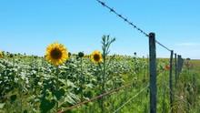 Sunflowers In A Sunflower Fiel...