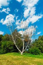 Dead Dry Tree Birch On Green M...