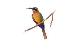 White-fronted Bee-eater - Merops Bullockoides  Green And Orange And Red Bird Widely Distributed In Sub-equatorial Africa, Nest In Small Colonies, Digging Holes In Cliffs Or Earthen Banks