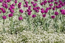 Purple Tulips With White Flowe...