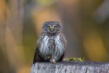 Birds - Pygmy Owl (Glaucidium Passerinum)