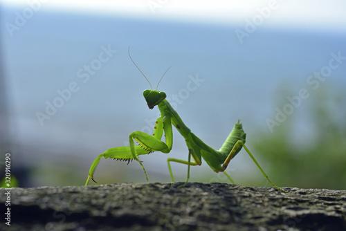Fotografie, Obraz Close up of the Praying Mantis