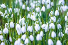 Beautiful Tender White Snowdro...