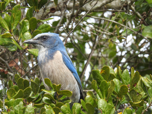 Blue Florida Scrub Jay Perched in Green Leaves