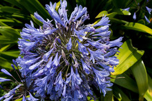Purple Agapanthus Plant In The Natural Park Of Chile