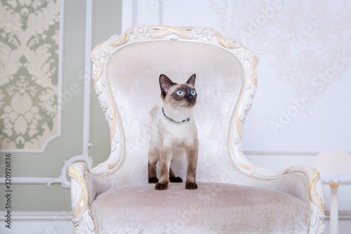 Fototapeta Mekong bobtail adult cat female. Beautiful breed cat Mekongsky Bobtail. pet cat without tail sitting on chic armchair. retro baroque chair in a royal French interior. cat sitting on antique chair obraz na płótnie