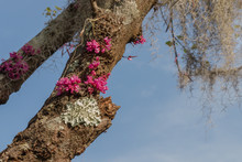 Pink Red Bud Flowers Growing On Tree Trunk Aong With Some White Moss Or Lichen While Spanish Moss Hangs