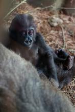 Very Cute Baby Gorilla In Zoo ...
