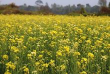 Yellow Mustard Flower In The Fields. Beautiful Landscape