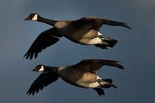 A Couple Of Canada Geese Flyin...