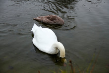 Two Swans, White Anf Grey, Div...