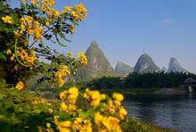 Chinese Senna Yellow Flowers A...