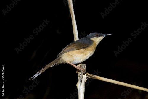 The Ashy Prinia or Ashy Wren-Warbler (Prinia socialis) Wallpaper Mural