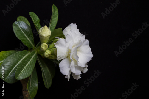 Fototapeta Beautiful white flower rose or adenium on black background with copy space. Undisclosed buds and green leaves. obraz na płótnie