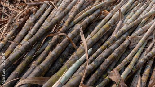 Cutting sugarcane in the field Wallpaper Mural